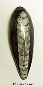 cephalopod cabochon
