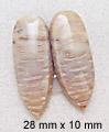 palmwood pair